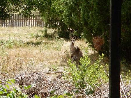 Dieses Känguru mit Jungem sahen wir mitten in Hill End